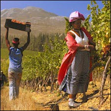 Photograph of picker courtesy of Ken Forrester Vineyards