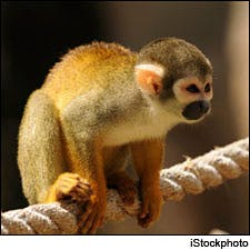 Photograph of monkey by iStockphoto