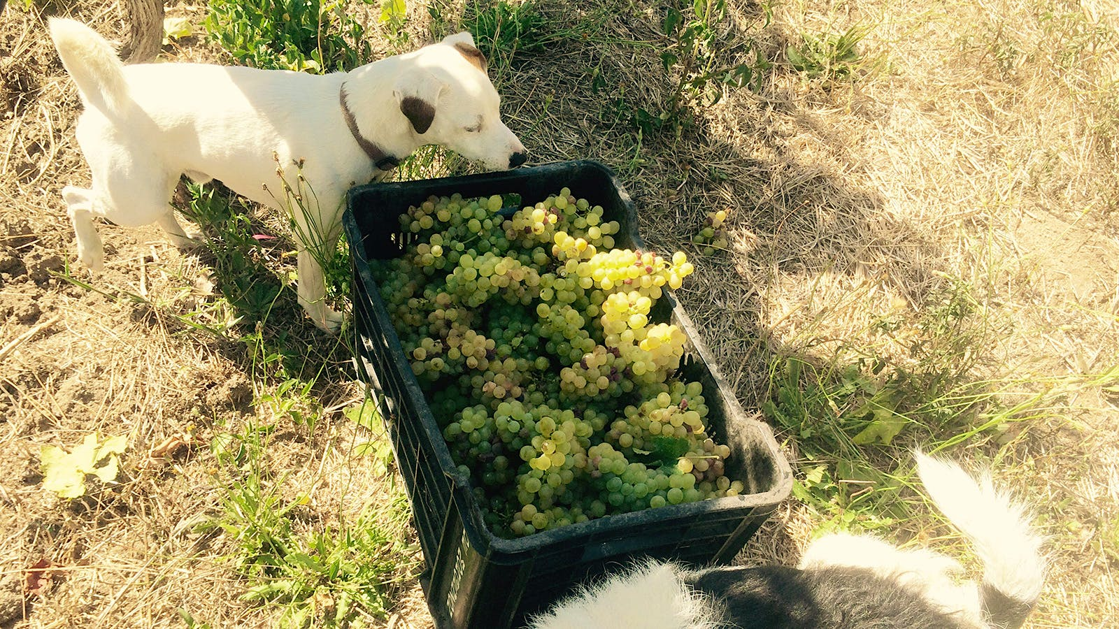Southern Harvest 2015: South African Wineries Report a Great—if Dry—Year