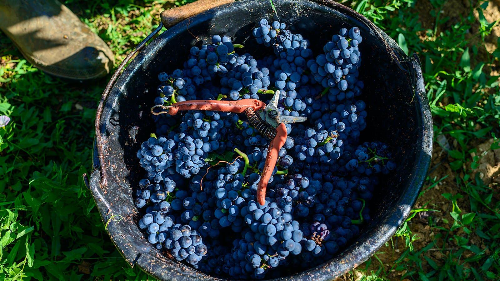 Wine Harvest 2015: Burgundy Winemakers Report Great Wines, but Low Quantities