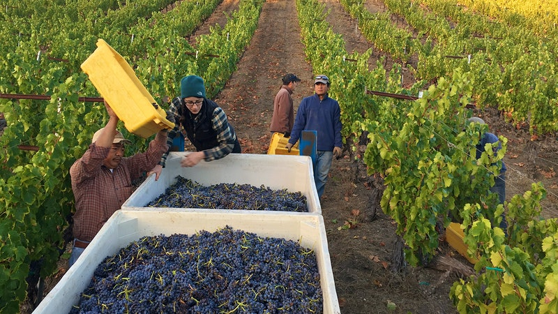 Wine Harvest 2015: Drought Cuts Paso Robles Harvest in Half, but Quality Is High