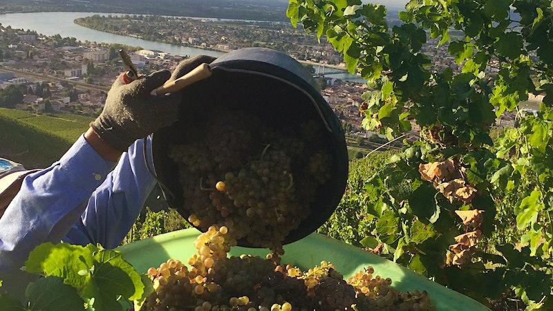 Wine Harvest 2015: Northern Rhône Winemakers Report A Very Promising Vintage