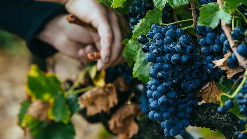 Wine Harvest 2015: Southern Rhône Winemakers Call It a Power Vintage