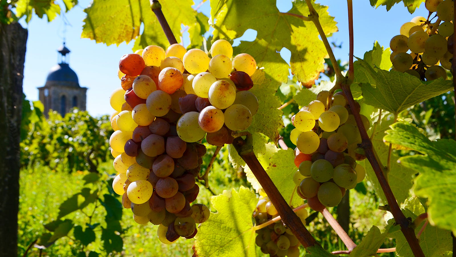 Wine Harvest 2015: Loire Valley Reports a Warm Summer and Promising Wines