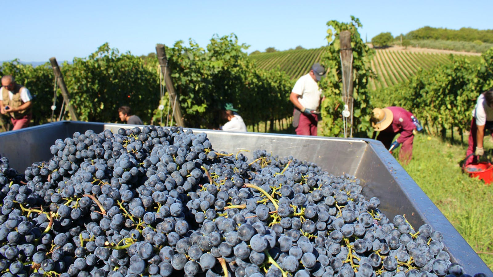 Wine Harvest 2015: Tuscany Enjoys a Summer of Sun