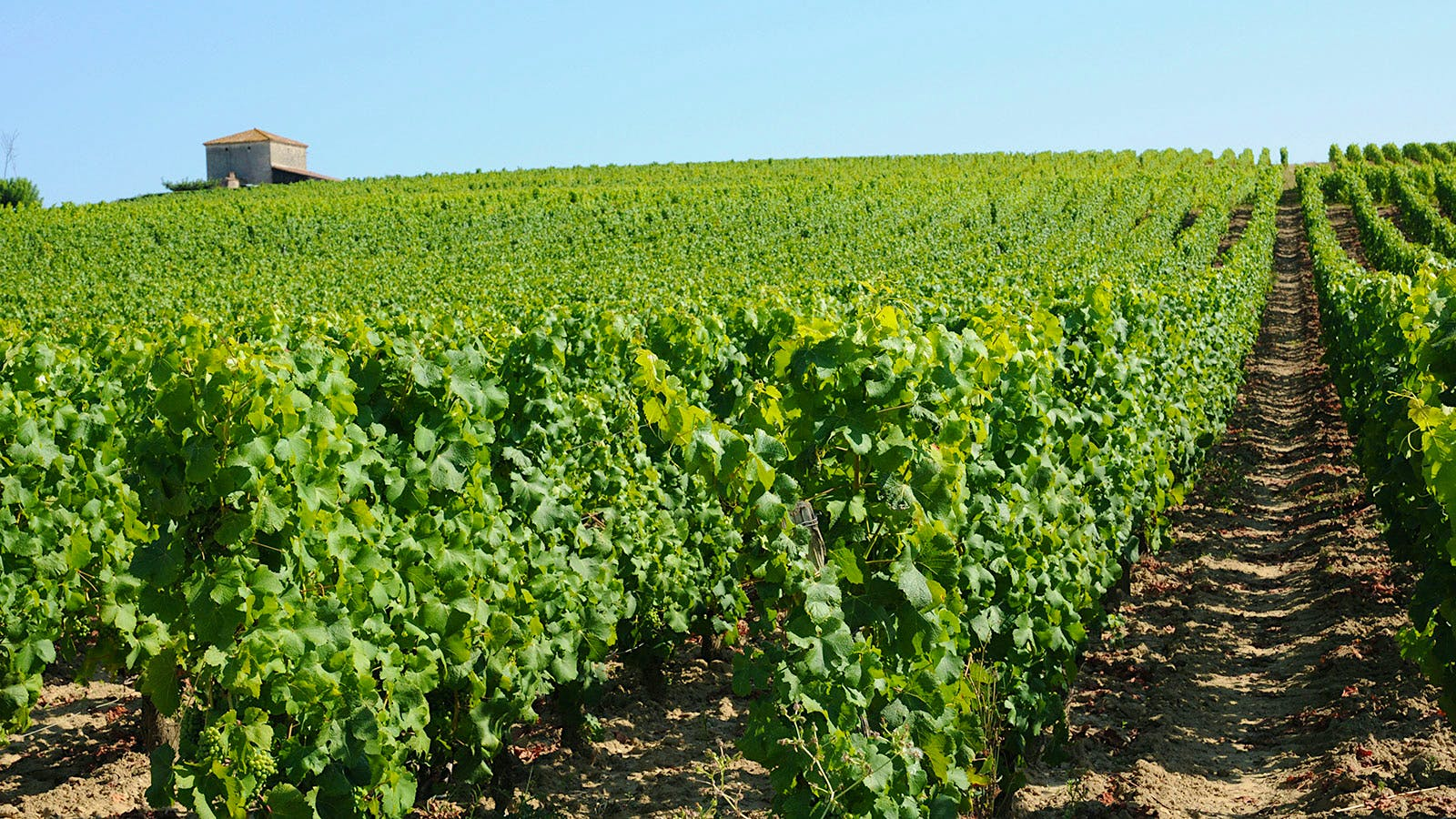 Battle Brewing in Sauternes Over Pesticide Use in Vineyards