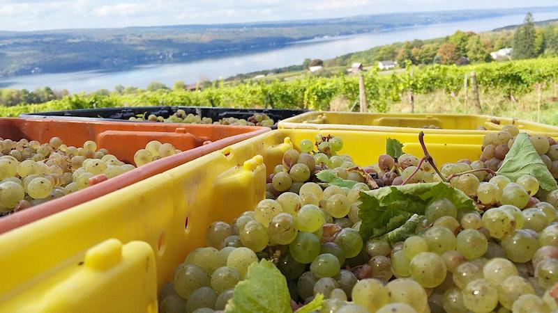 Wine Harvest Report 2016: New York's Long Island & Finger Lakes