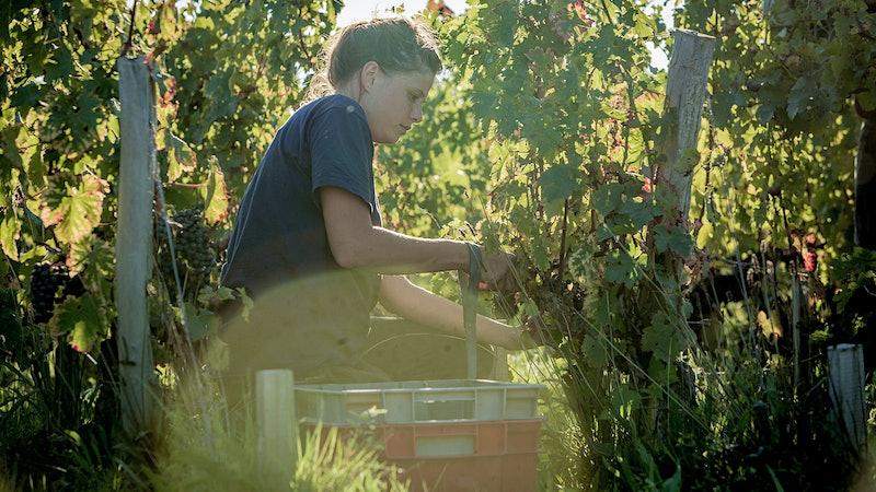 Wine Harvest Report 2016: Bordeaux Enjoys a Warm, Dry Year