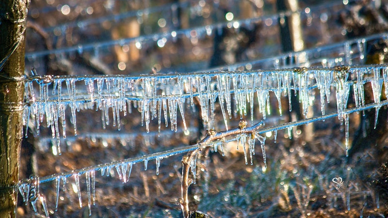 Frost Strikes France's Burgundy and Loire Wine Regions