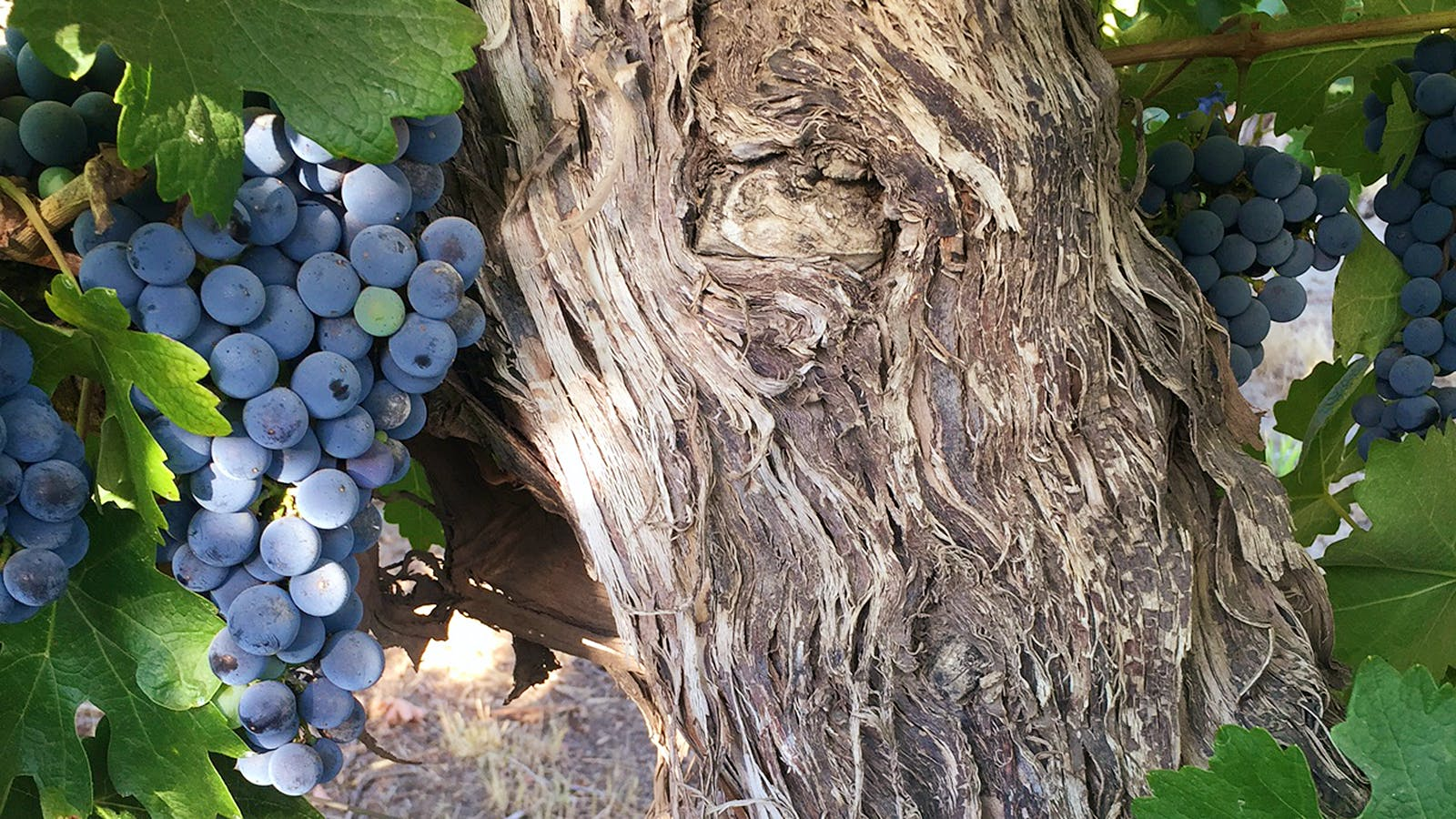 Wine Harvest Report 2016: A Record-Breaking Haul Has Washington Vintners in Good Spirits