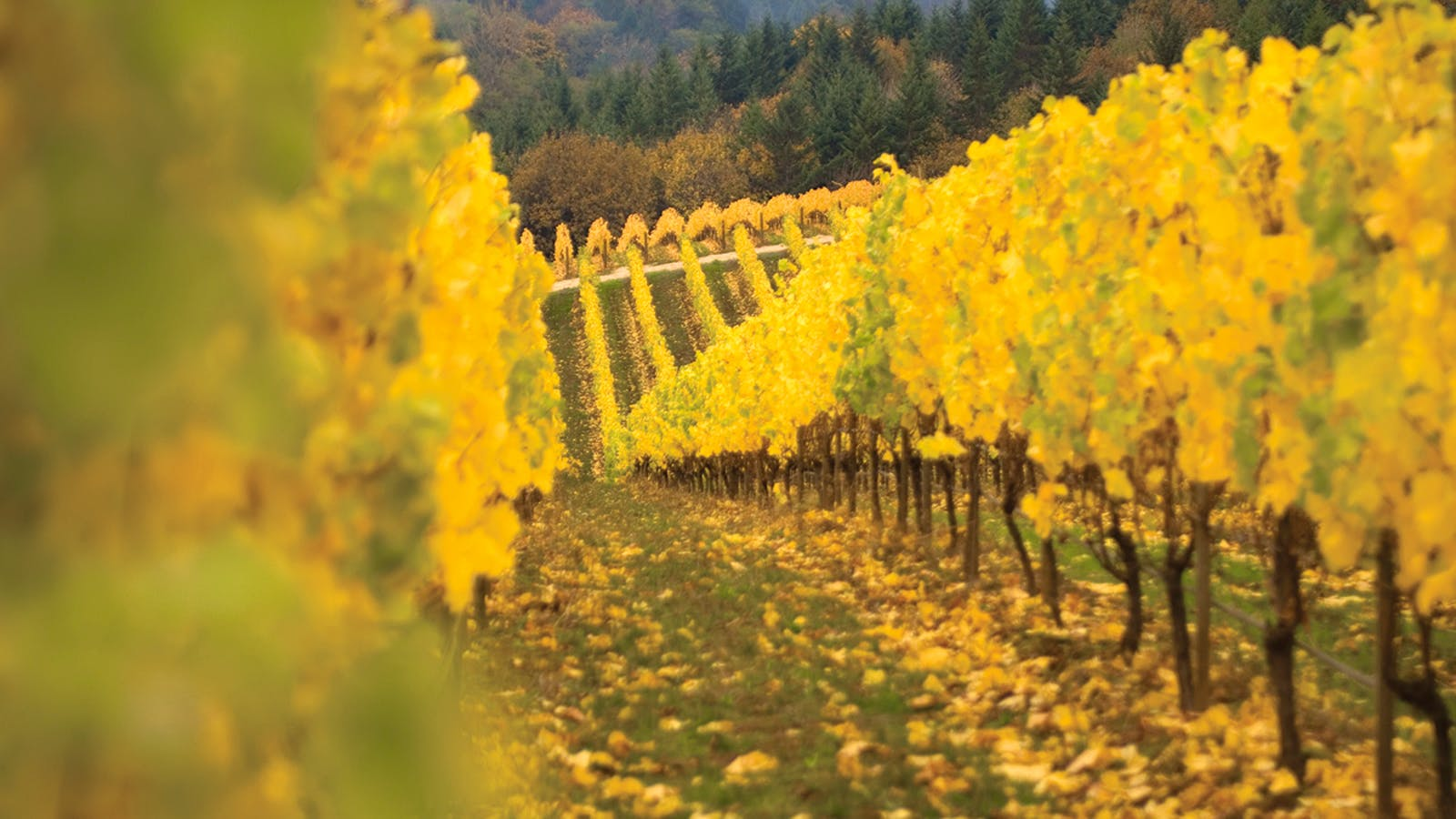 16 Tempting Oregon Pinot Noirs
