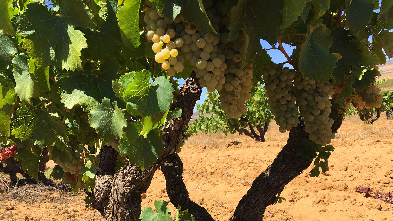 2017 Harvest Report: Despite Drought, Potential Is High for South African Wines