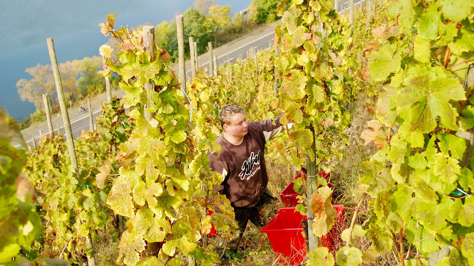 2017 Harvest Report: A Baffling Growing Season Challenges German Vintners