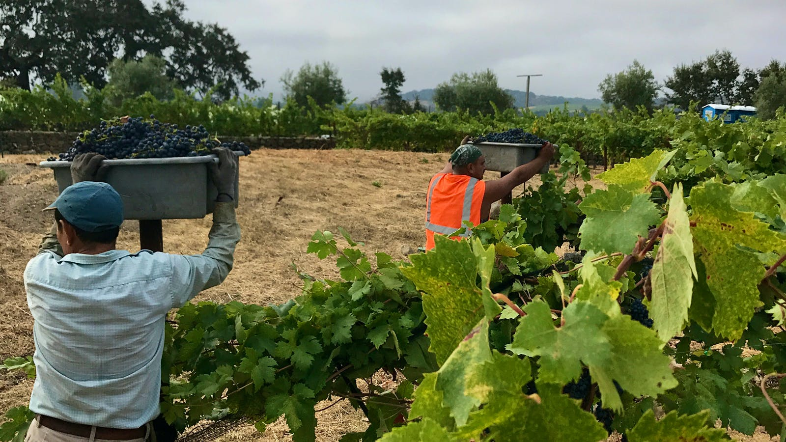 Napa and Sonoma Vintners Face Record Heat and a Labor Shortage