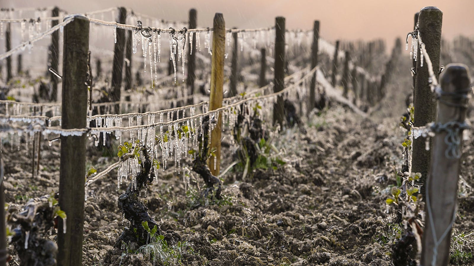 Frost, Hail Inflict Heavy Vineyard Damage Across France and Italy