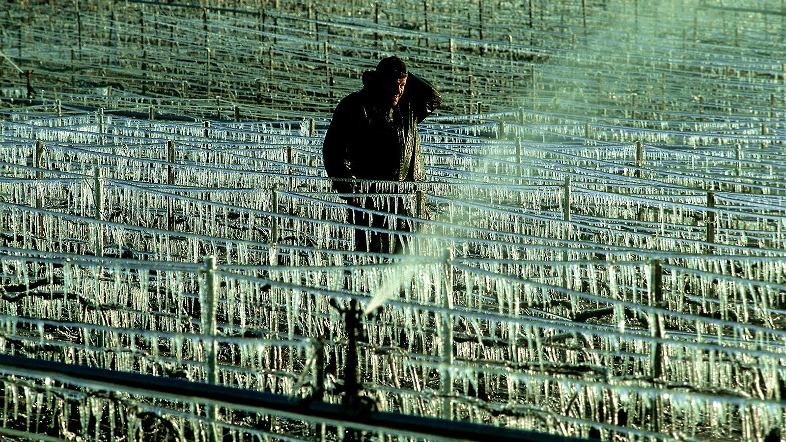 <em>Update:</em> French Winemakers Weathering Worst Frost in 25 Years