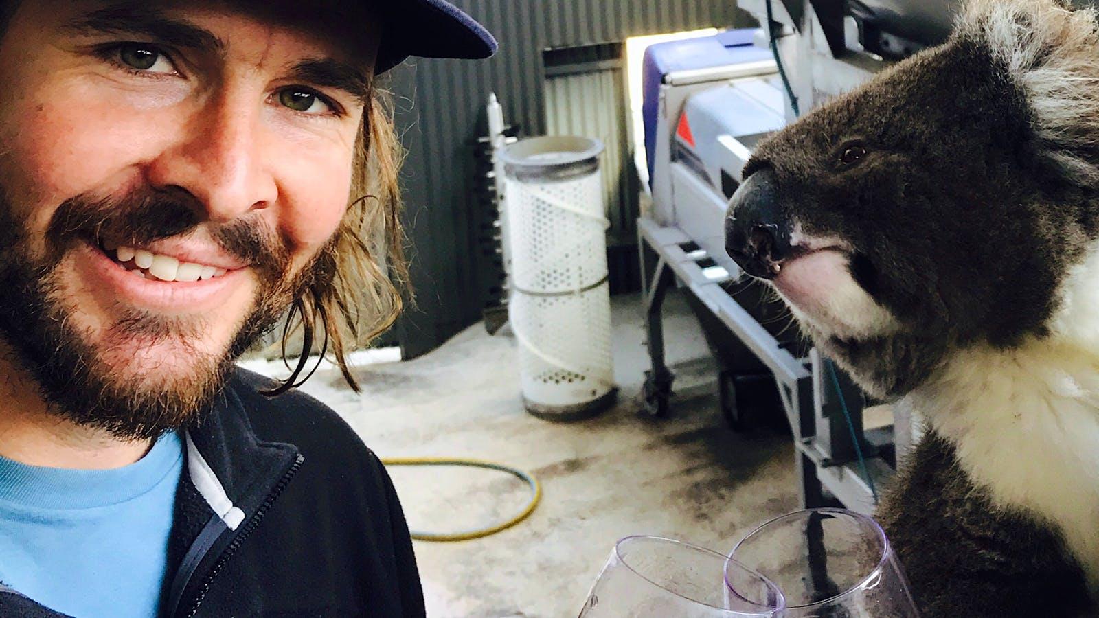 Adorable Booze-Loving Koala Thinks It's (Australian) People