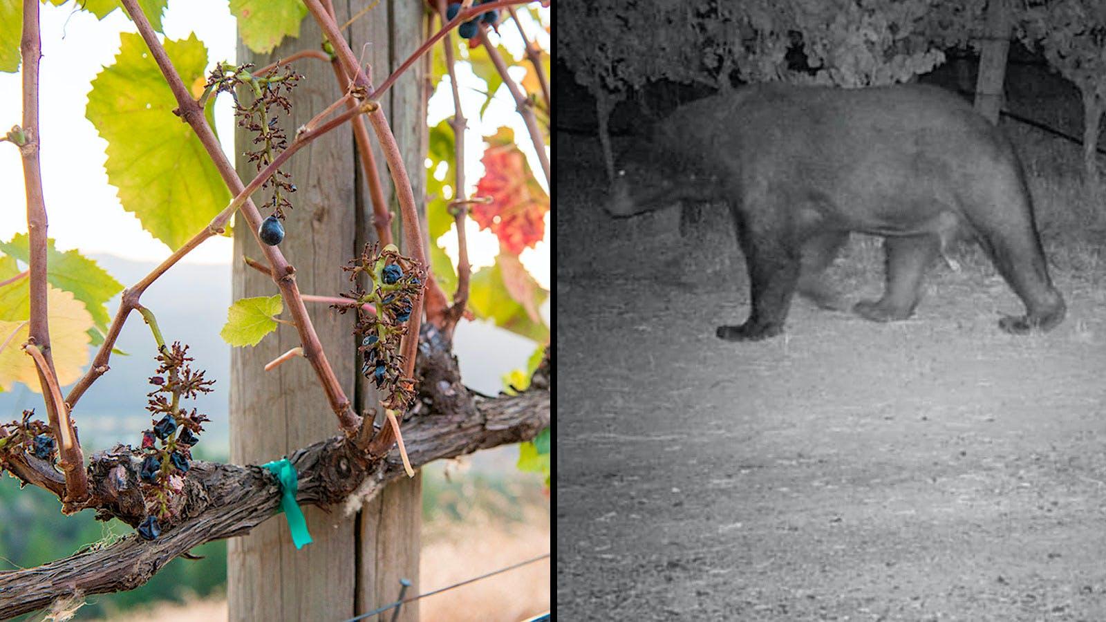 Vineyard-Crashing Bear Finds Bearings, Pinot Pairings