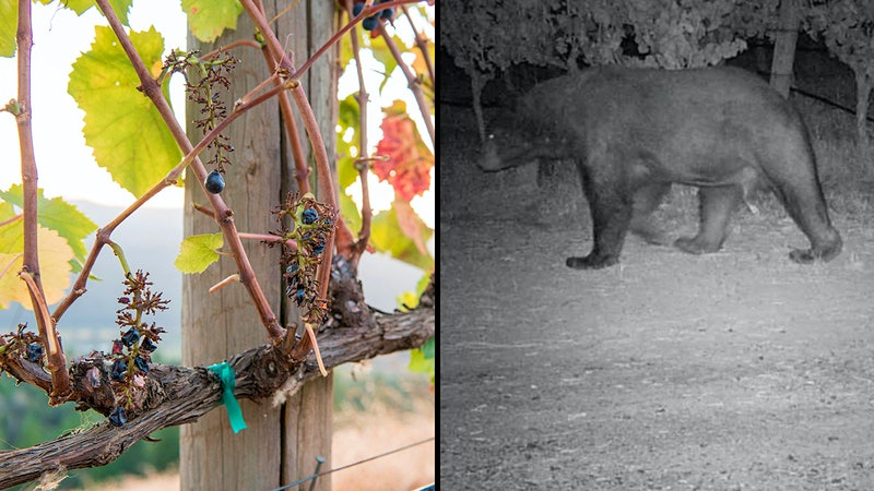 Vineyard-Crashing Bear Finds Bearings, Pinot Pairings