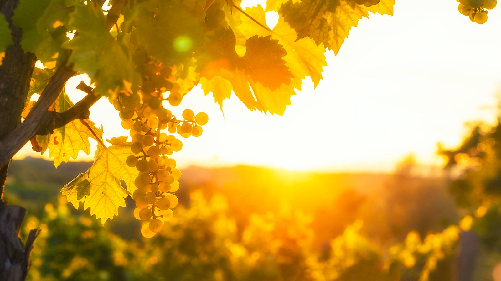 Surviving Climate Change: Replanting Wine Regions to Different Varieties May Be Key, Study Finds