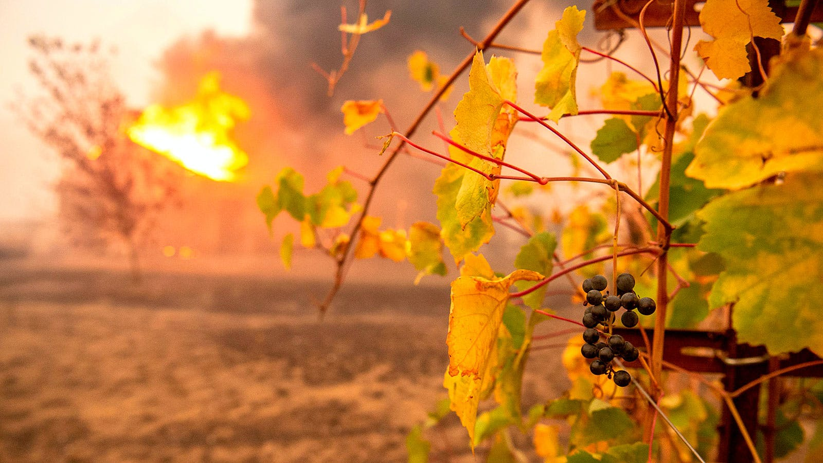 Can Grapes Be Protected from Wildfire Smoke Taint?