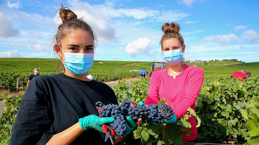 Workers at Moët keep masks on as they pick Pinot Noir for the 2020 harvest.