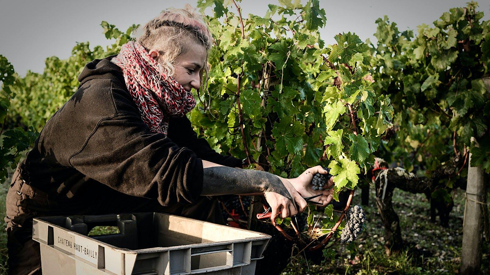 The Social Distance Vintage: Harvest in Bordeaux