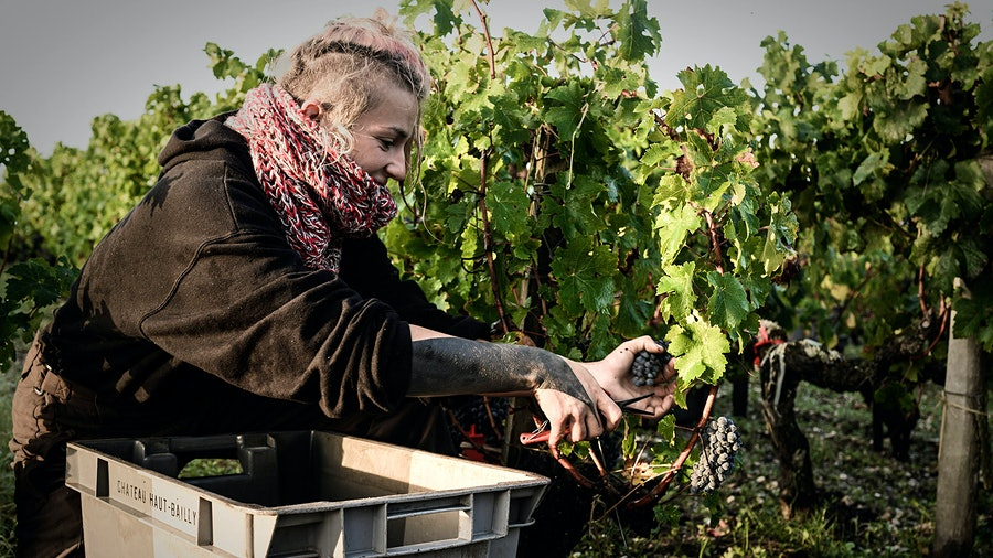 A worker picks Cabernet at Château Haut-Bailly in Bordeaux. Wineries had to be creative to keep workers distanced and safe.