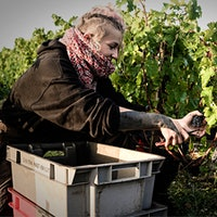 A worker picks Cabernet at Château Haut-Bailly in Bordeaux. Wineries had to be creative to keep workers distanced and safe.The Social Distance Vintage: Harvest in Bordeaux