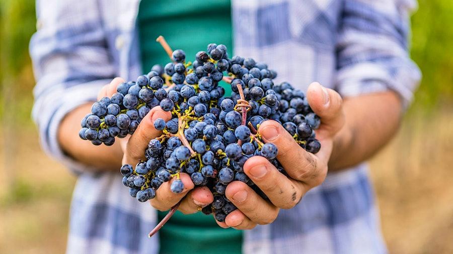 红葡萄有大量的在他们的皮肤,这是在酒过黄烷醇。金宝博手机