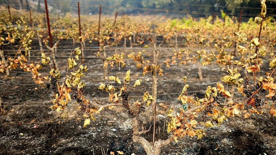 Roasted grapes hang from fire-damaged vines at a vineyard near St. Helena in Napa Valley.