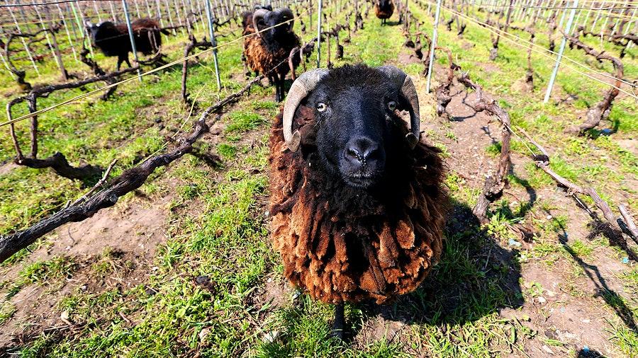 对于有机葡萄酒种植者和绵羊来说,这是双赢的,动物们在葡萄垄之金宝博手机间吃草,减少了化学杂草管理的需要。