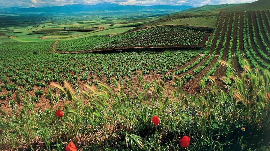 Marqués de Cáceres, in Rioja's La Rioja Alta subregion, is well-regarded for its affordable Tempranillo and Viura wines.