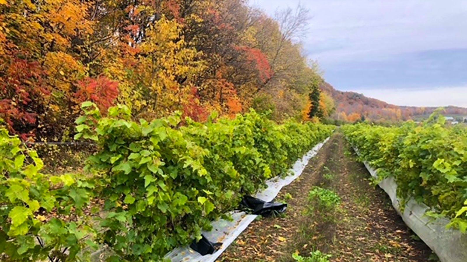 Vanished Grapes and Burrowing Burglars: Wine Crime Unseen