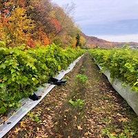 黑色垃圾袋是唯一留下证据在Coteau的鲁日的非法采伐vineyard.Vanished葡萄和穴居窃贼:葡萄酒犯罪看不见金宝博手机