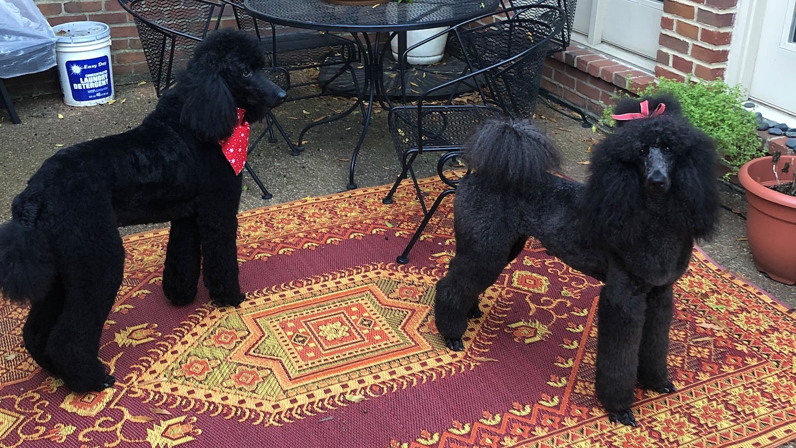 Bailey and Khaleesi the Standard Poodles