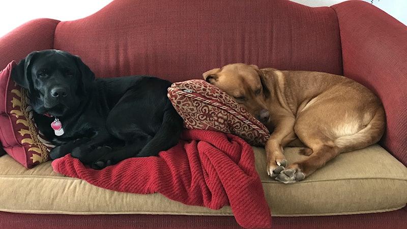 Coffee Bean and Cinna-Bun the English Labradors
