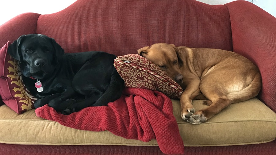 Image for the article titled: Coffee Bean and Cinna-Bun the English Labradors