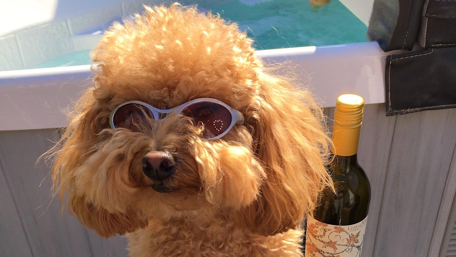 Dulce de Leche the Toy Poodle