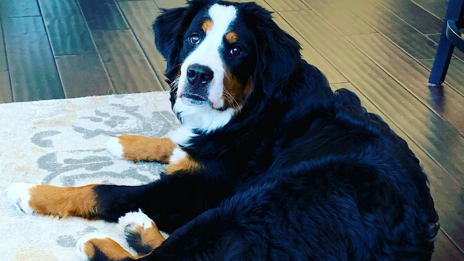 Gemstone the Bernese Mountain Dog