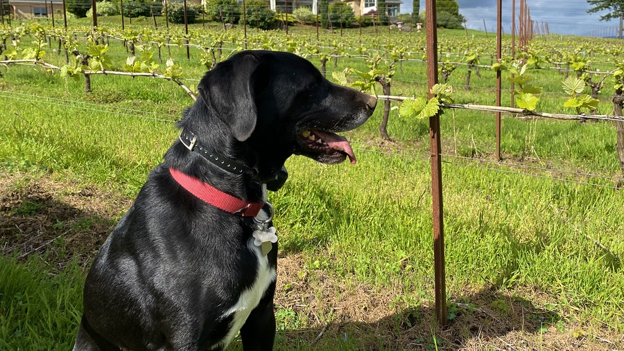 Image for the article titled: Jake the Labrador-Pointer Mix