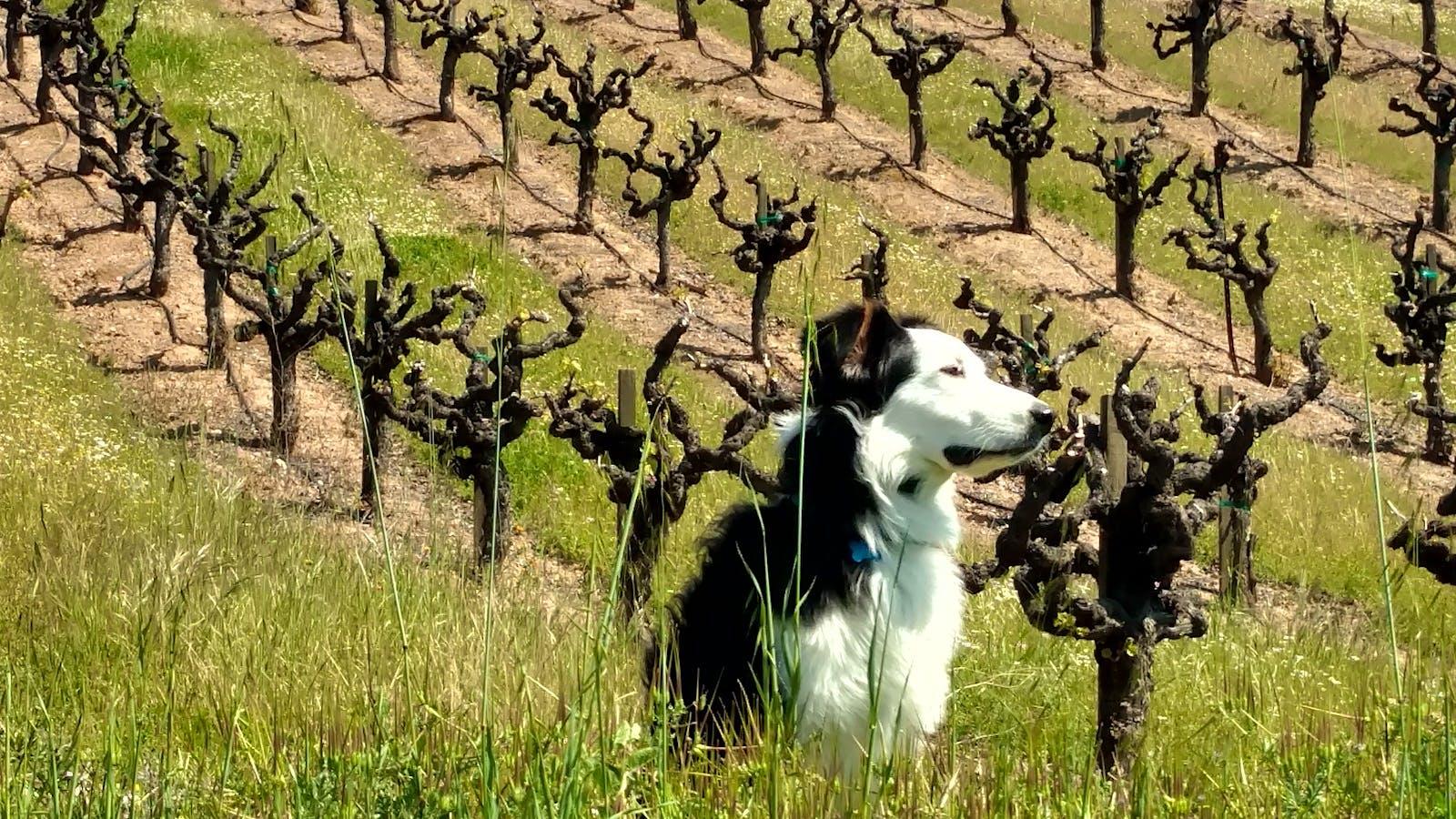 Jasper the Australian Shepherd