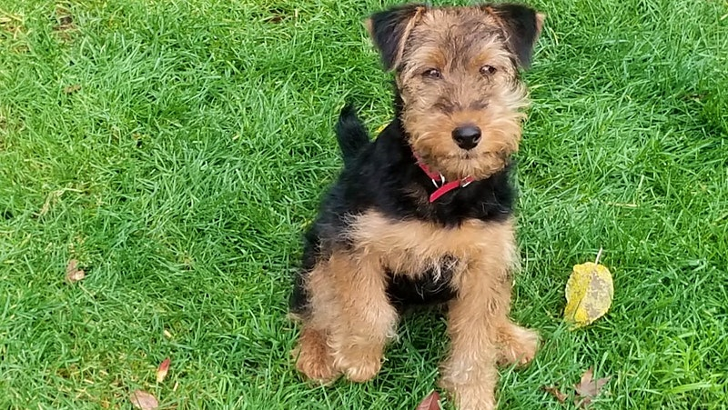 Roz the Welsh Terrier