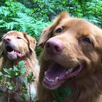 Two dogs, Scarlet and Cedar, Nova Scotia Duck Tollers, playing outsideGallery of Readers' Dogs