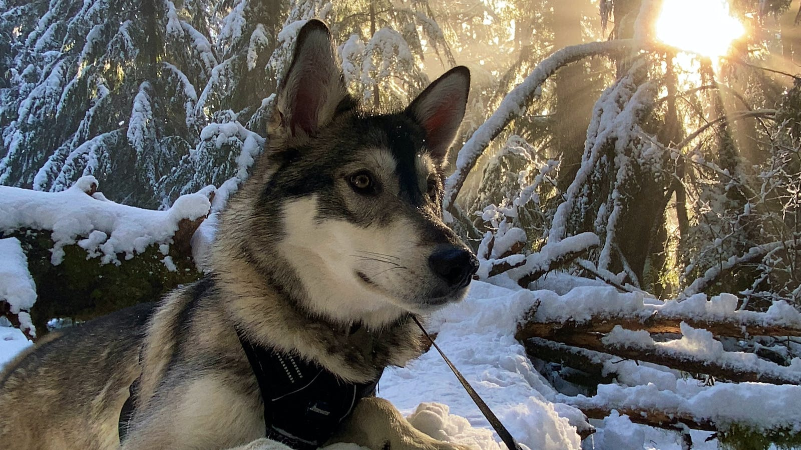 Timber the German Shepherd–Siberian Husky