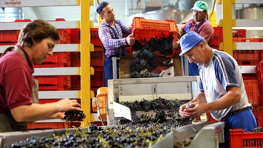 People sorting grapes on a conveyor belt