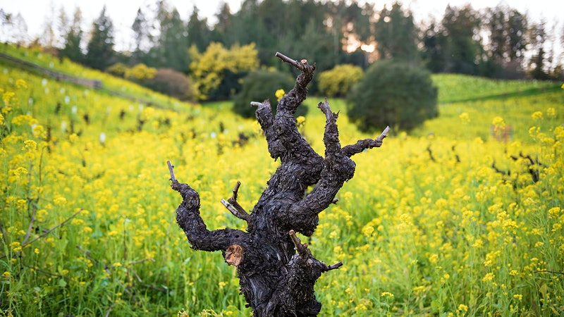 12 Dynamic California Zinfandels Up to 92 Points