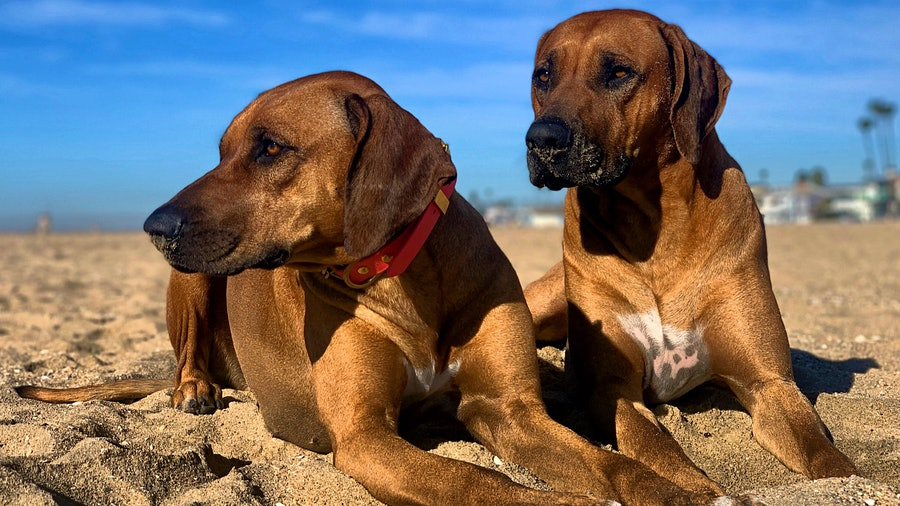 Rhodesian Ridgeback dogs Tiberius Blue and Sansa Stark on the beach