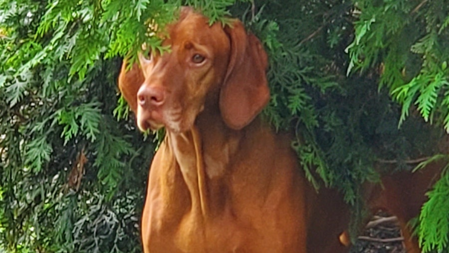 Hunter, a Vizsla dog, peeking out of some bushes