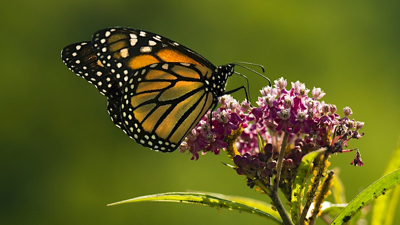 Sanctuary Vineyards: Jordan Provides a Home for Threatened Butterflies